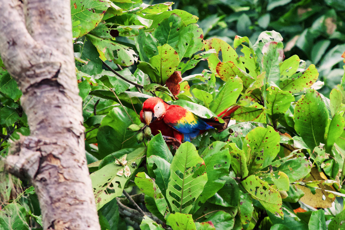 Gay Travel Journal Costa Rica Lunch view: Red Macaw in the Rainforest at the Pacific Coast | Gay-friendly Costa Rica © Coupleofmen.com